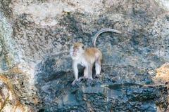 Singe sauvage se reposant sur la roche photos libres de droits