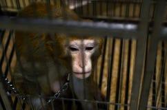 Singe sauvage verrouillé dans une cage Image stock