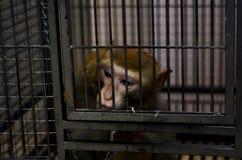 Singe sauvage verrouillé dans une cage photographie stock