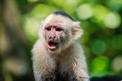 Singe se reposant dans la forêt tropicale du Honduras photographie stock