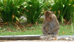 Singe se reposant sur la nourriture moulue de consommation au zoo ouvert de Khao Kheow thailand banque de vidéos