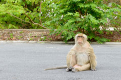 Singe se reposant sur la rue Photos stock