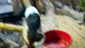 Singe supérieur de Tamarin de coton mangeant de la nourriture de la cuvette banque de vidéos