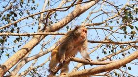 Singe sur l'arbre Image stock