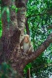 Singe sur l'arbre Images stock