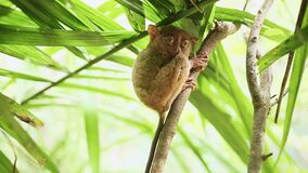 Singe tarsier sur une branche d'arbre philippines clips vidéos
