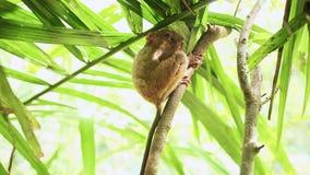 Singe tarsier sur une branche d'arbre philippines banque de vidéos