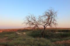 Singe tree without leaves and grasslands landscape. Baskunchak, Bogdo, summer evening Stock Photos