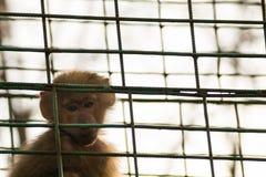 Singe triste dans la cage - le singe de macaque de bébé a jugé captif photo libre de droits