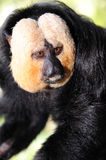 Singe White-faced de Saki (pithecia de Pithecia) Photo libre de droits