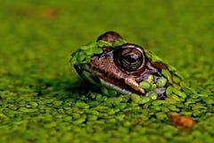Singel attracca i arvalis del rana della rana in primo piano nel lato sulla testa Fotografia Stock
