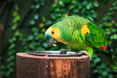 Singel Blått-beklädd amasonpapegoja (Amazonaaestivaen) Arkivfoton