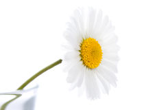 Singel daisy Royalty Free Stock Image