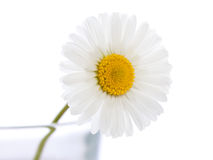 Singel daisy 3 Stock Image