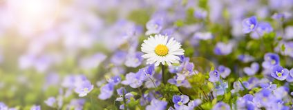 Singel daisy in flowerbed with sunrays at springtime Stock Photo