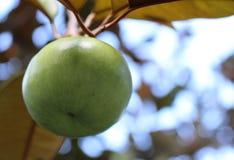 Singel gröna Apple som växer på ett fruktträd Arkivfoton