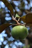 Singel gröna Apple som växer på ett fruktträd Arkivbilder