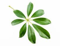 Singel isolerat blad på en vit Arkivfoton