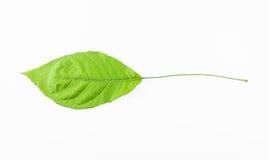 Singel isolerat blad på en vit Arkivbilder