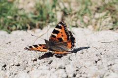 Singel målad dam Butterfly royaltyfria bilder