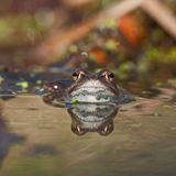 Singel moor frog rana arvalis  in close-up colored background Stock Image