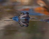 Singel moor frog rana arvalis  in close-up Royalty Free Stock Image