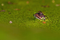 Singel moor frog rana arvalis  in close-up in side on the head Stock Photography