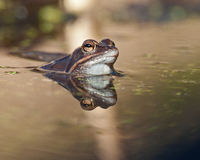 Singel moor frog rana arvalis  in close-up side portrait Stock Photography