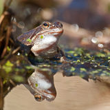 Singel moor frog rana arvalis  in close-up in sun Stock Images