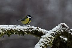 A singel portrait on Great tit Parus major on a snowy stump in Sweden royalty free stock photography