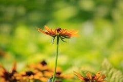 Singel svart-synad susan blomma Arkivbilder