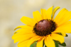 Singel svart-synad susan blomma Royaltyfria Bilder