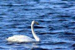 Singel Swimming Swan Stock Photos