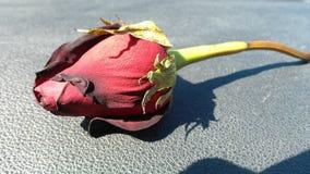 Singel torkade röda Rose Resting på en instrumentbräda arkivbilder