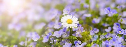 Singel tusensköna i blomsterrabatt med solstrålar på vår Arkivfoto
