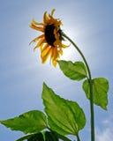 Singelbaksida tände solrosen (helianthus annuus) mot blå himmel. Fotografering för Bildbyråer
