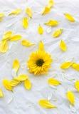 Singelgulingblomma på vitbokbakgrund med kronbladaroun Royaltyfri Bild