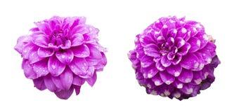 Singeln blommar med lilla droppen isolerade samlingsuppsättningen, begrepp för regnig säsong royaltyfri fotografi