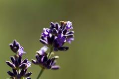 Singeln blommar på lavendel i trädgården - makro Royaltyfri Bild