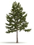 Singeln sörjer trädet Royaltyfri Foto