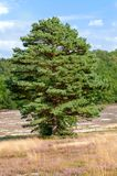 Singeln sörjer trädet i arbetat område av den Fischbeker heden royaltyfri bild