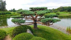 Singeln sörjer trädet i japansk trädgård royaltyfri fotografi