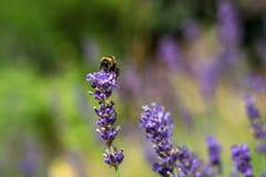 Singeln stapplar biet på den lila blomman i sommar Royaltyfri Fotografi