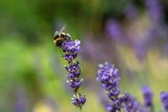 Singeln stapplar biet på den lila blomman i sommar Royaltyfri Foto