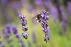 Singeln stapplar biet på den lila blomman i sommar Arkivbilder