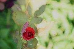 Singelrosknoppen Royaltyfria Foton
