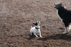 Singende Hunde Stockbild