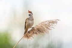 Singender großer Reed Warbler Stockbilder