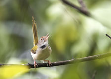 Singer. The common tailorbird (Orthotomus sutorius) is a songbird found across tropical Asia. Popular for its nest made of leaves sewn together and immortalized stock images