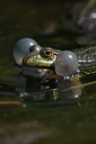 Singer in marsh. Close up photo with frog in marsh Royalty Free Stock Photography